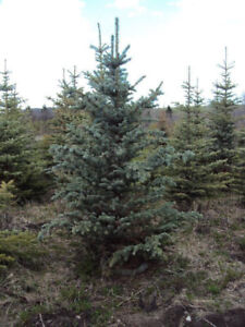 4-10ft spruce trees planted