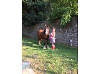 14.2 cob cross Clydesdale mare