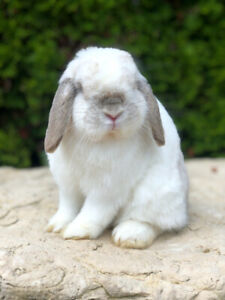 Purebred Frosty Holland-Lop