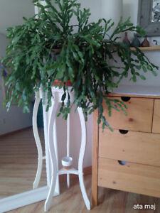 Christmsa Cactus Zogocactus with Plant Stand - Imposing