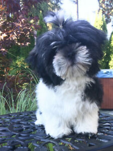Shih Tzu/Maltese X  16 wk old female puppy for sale