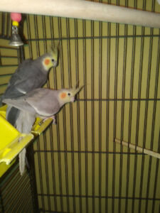 2 cockatiels  and cage $300