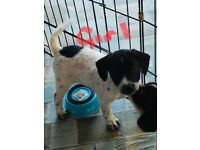 Jack Russell X Puppies - READY NOW 07947 676150