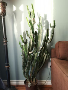 5 foot tall / 20 year old cactus.