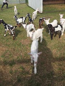 Bottle Fed Nubian, Saanen, & Alpine Buckling Goats for Sale