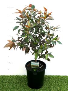 Acalypha Inferno Plants In 140mm Pots Plants Gumtree Australia
