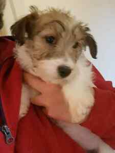 Registered English Jack Russell Pups.  1 males available