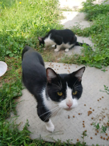 Found 2 male black and white cats