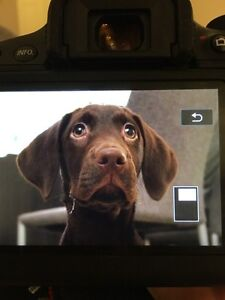 6 month old female chocolate labrador for sale