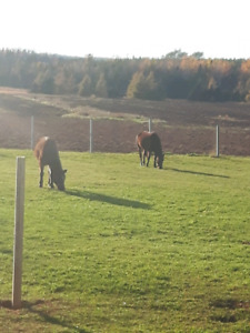 Nfld ponies to good home