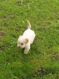 Beautiful Cavachon Puppy