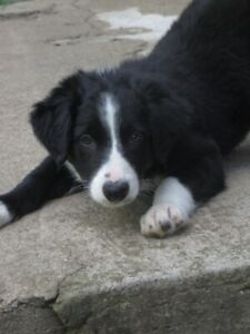 CBCA Registered Border Collie Pups - 11 weeks.