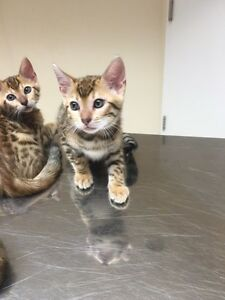 Asian Leopard Bengal Kittens Ready to Go Peterborough Peterborough Area image 2