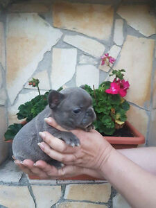 Excellent quality blue and black French bulldogs for sale