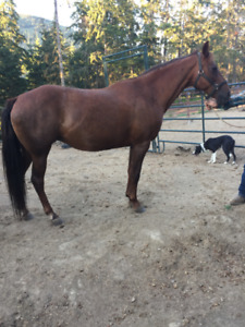 16 yr old Tennessee Walker Mare