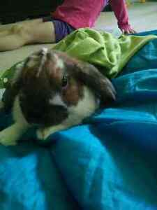 Holland lop rabbit for sale London Ontario image 2