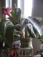 MATURE TROPICAL PLANTS,BROMELIAS,MID SIZE