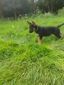 PUPPYS german shepherd puppys