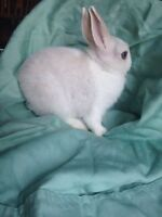 Netherland dwarf babies looking for FOREVER HOMES