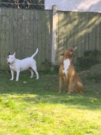 English bullterier ×American bulldog