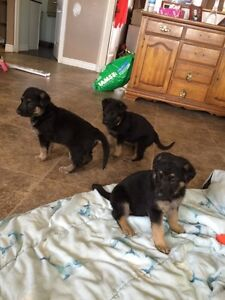 Pure king german Shepard for sale