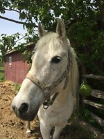 Registered Flea-Bitten Grey Arabian Mare