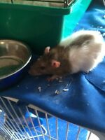 Three female rats to give away READ BELOW