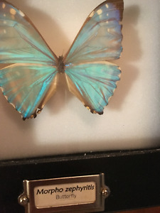 "Morpho""Beautiful"" Zephyritis Butterfly from Peru"