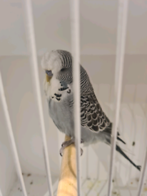 Baby Male Budgie For Sale