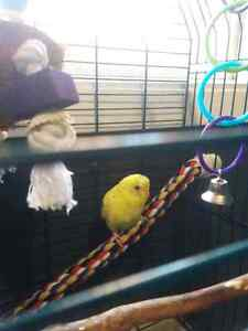 Baby budgie, cage, food and all accessories Peterborough Peterborough Area image 3