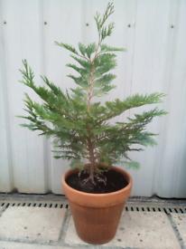 Cyprus Fir Tree 27 inches tall + Clay Pot a Healthy Sturdy Specimen!