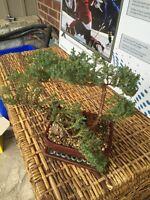 Beautiful 29 Year Old Bonsai Tree + Supplies!