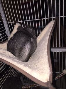 FAMILY OF 3 FEMALE CHINCHILLAS WITH LARGE CAGE - $600