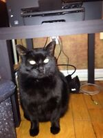 Big and Loveable Black 4 yr old cat Baby (INDOOR)