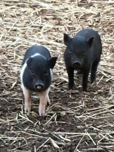 8 week old pet piglets (2) of them