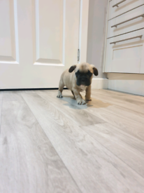 Beautiful Blue /lilac and Fawn French Bulldog puppies