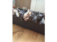 Lionhead bunnies ready 3rd August!
