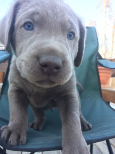 Pups Lab | Kijiji in Alberta  - Buy, Sell & Save with Canada's #1