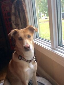 *** FOSTER WANTED FOR BAILEY LAB CROSS ***