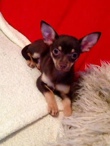 Chiot chihuahua male pure race