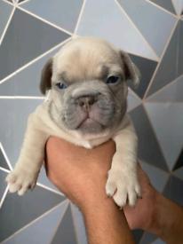 6 chunky french bulldog pups