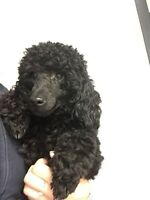 FLYN - mini POODLE for Adoption- CANICHE pour adoption
