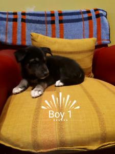 6 Beautiful Husky×Lab Puppies