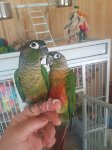Friendly bonded pair of conures w/ Everything