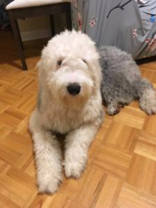 1 .5 years old pure breed Old English Sheepdog male for rehoming