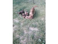 Chihuahu puppies for sale