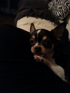 Petite femelle chihuahua a donner