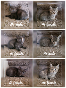 Kittens to GIVE AWAY 3 female & 2 male