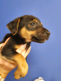 Black and tan hunt terrier (Jack Russell)