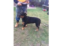 14 month old Rottweiler bitch for sale